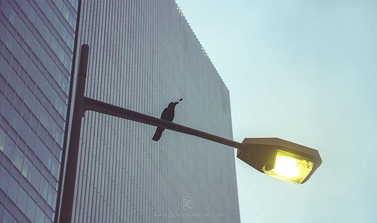 Japanese Crow von Fotograf Denis Carbone